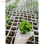 🎄🎁🎊 ลดราคา ต้นกระบองเพชร ราคาถูก แคคตัส ไม้อวบน้ำ กุหลาบหิน🎁🎄🌴