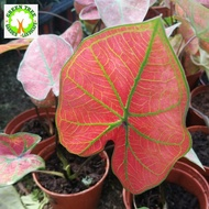 INDOOR PLANT - Caladium red for HOME/OFFICE decoration
