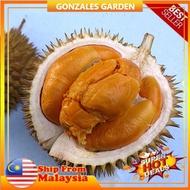 Durian Duri Hitam Anak Pokok Durian Duri Hitam Ochee