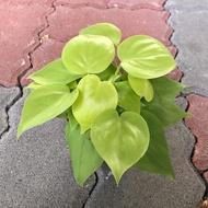 心葉蔓綠絨(3寸紅盆)淨化空氣植物之一