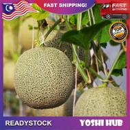 Biji Benih Rock Melon Seeds Japan Rock Melon Imported From Japan Genuine And Premium Seeds (3 Biji Benih)