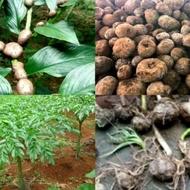 bibit porang umbi 1kg isi 50-100 biji-benih porang-bibit porang umbi asli-tanaman porang-porang