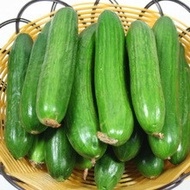 以色列全雌小黃瓜(免授粉產量高)(種子每份6顆250元)