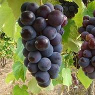 Anak Pokok Anggur Hitam Hybrid