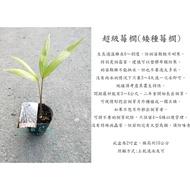 心栽花坊-超級莓櫚/矮種莓櫚/巴西莓櫚/莓果/水果苗/棕櫚樹/售價300特價250