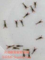 YABBY 破壞者螯蝦/天空藍魔蝦
