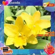 [ ถูกเว่อร์!! ช้าหมด ] กล้วยไม้แคทลียา Yellow Mini ดอกขนาดกลาง ดอกหอม กระถาง 3.5 นิ้ว กอใหญ่ ไม้หลายหน้า (ส่งแบบไม่มืดอก ขนาดตามภาพตัวอย่าง) [ Home Garden ]