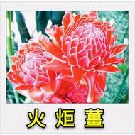 【紅樹林】火炬薑(紅色)~根莖