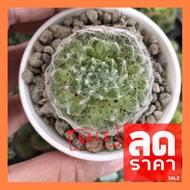 SALE !!สุดพิเศษ ## Mini Sempervivum arachnoideum Cobweb Hen Single Head กุหลาบหิน นำเข้า ไม้อวบน้ำ ##ต้นไม้และเมล็ดพันธุ์ดอกไม้