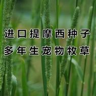 《花匠》種植 貓尾草 兔子 提摩西草種子豚鼠 荷蘭豬龍貓 進口多年生牧草熱銷廠家直銷