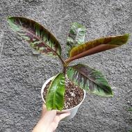 Blood Banana กล้วยด่างเลือด กล้วยใบด่างสีเลือดนก ลำต้นเล็กเพียว ใบกางเรียวยาว เหมาะมากไว้ปลูกประดับบ้าน สวน ห้องทำงาน (ขายเป็นหน่อ ตัดใบ)