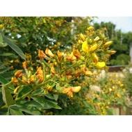 新品/種子木豆種子 觀音豆 柳豆 豆蓉 樹豆 樹黃豆 多年生護坡灌木種子包郵