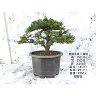 {英宏}-小品盆栽-宮版系魚川真柏7寸