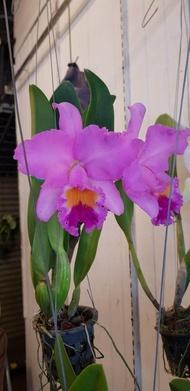 """แคทลียา (Cattleya)"""" ต้นกล้วยไม้ ราชินีแห่งกล้วยไม้ สีม่วง ไม้พร้อมให้ดอก ดอกใหญ่พิเศษ ดอกหอม ออกดอกตลอด เลี้ยงง่าย จัดส่งพร้อมกระถาง 4 นิ้ว"""