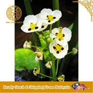 REAL LIVE PLANT WATER ORCHID ARROWHEAD FLOATING PLANTS WITH POT READY STOCK POKOK HIDUP