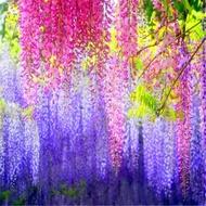 紫藤花樹苗爬藤植物陽臺庭院圍墻四季開花盆栽綠植花卉攀援紫藤苗