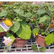 *芙菈朵森林* 園藝館 日本黃金莓 燈籠果 5-6吋盆 水果苗