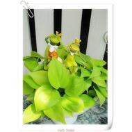 WISH FOREST【懸吊植物。心葉蔓綠絨】。金黃色的愛心葉子。耐陰的室內觀葉植物~