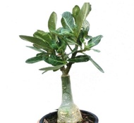 Malaysia Stock Rose Adenium Plant Thailand Multi Layer Pokok Kemboja (Random Pick)