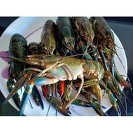 Lobster air tawar fresh frozen