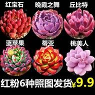 Succulents Succulents boutique, succulents, non-repetitive, potted soil, flowers and green plants, potted plants, radiat