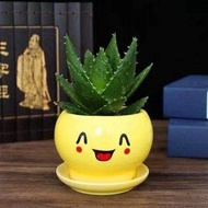 succulent plant succulent pot succulent seeds succulent succulent soil ✭Aloe potted succulents indoor purification air t