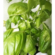 *25 seeds* Italian Basil / Basil Genovese