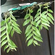 大天宮石斛蘭《蛇木板柱》種植