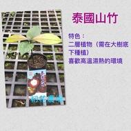 初花農場|泰國山竹苗|2.5吋盆|----定價240特價200