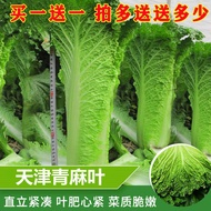 ★Hot spot★Tianjin green hemp leaves straight cylindrical cabbage seeds autumn green big green hemp leaves Chinese cabbag