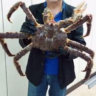 頂級 活 帝王蟹2.6~ 3 kg 大隻 挪威 智利 阿拉斯加 海鮮