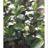 Anak pokok hybrid. Cempedak durian, cempedak madu,  nangka madu J33, size 1kaki