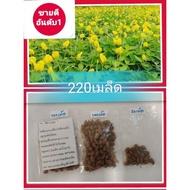 เมล็ดพันธุ์ถั่วบราซิล(220เมล็ด)ถั่วบราซิล พืชคลุมดิน