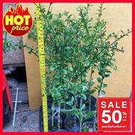 NEW !!ราคาถูกที่สุด## มะนาวคาเวียร์/มะนาวนิ้วมือ ##ต้นไม้ tree ต้นไม้หายาก