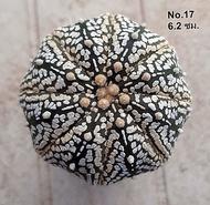 Cactus ต้นกระบองเพชร แอสโตร ซุปเปอร์คาโบโตะ (Astrophytum Super Kaboto) : 6.2 ซม.