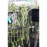 花花世界_蕨類植物--覆葉石松--葉子較小且硬/5寸吊盆/Ts