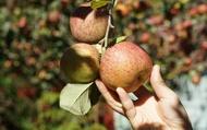 【來自福壽山 日光洗禮的不套袋蜜蘋果中顆 7斤】饕客的最愛 就是願意多等⼀個月