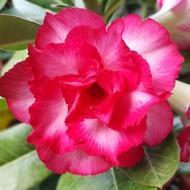沙漠玫瑰 重瓣品種 嫁接5吋盆(星河)