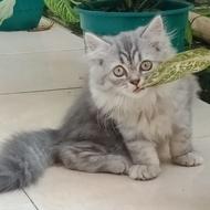 kucing persia Mainecoon