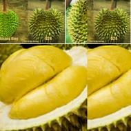 ANAK POKOK DURIAN D24 BUKIT MERAH HYBRID Buah Buahan Fruits Live Plant [WEST MALAYSIA ONLY]