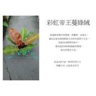 心栽花坊-彩虹帝王蔓綠絨/6吋/小品/觀葉植物/室內植物/售價200特價180