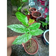Begonia Maculata plants