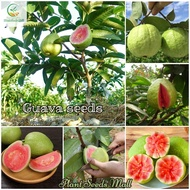 Guava Seeds - 100pcs Seeds for Planting - Bonsai Fruit Trees Seeds Balcony Potted Indoor Ornamental Plants Organic Vegetable Seeds Fruit Live Plants Air Plant Real Plant Seed Gardening - Seeds for Flowers and Herbs Delicious Fruits Plants for Sale