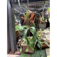 十二田植栽 鹿角蕨 P. willinckii 'Baileyi' 6'' 迷你爪哇6吋
