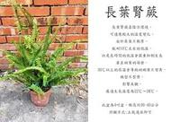 心栽花坊-長葉腎蕨/4吋/綠化植物/室內植物/觀葉植物/蕨類/售價120特價100