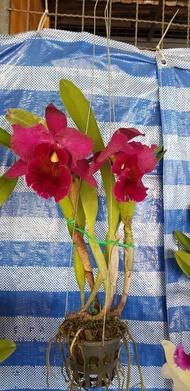"""แคทลียา (Cattleya)"""" ต้นกล้วยไม้ ราชินีแห่งกล้วยไม้ สีม่วงเข้มออกแดง ไม้พร้อมให้ดอก ดอกใหญ่พิเศษ ดอกหอม ออกดอกตลอด เลี้ยงง่าย จัดส่งพร้อมก"""