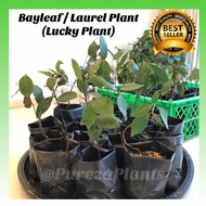 Bayleaf / Laurel Plant & Seeds (Lucky Plant) COD Available READ Description
