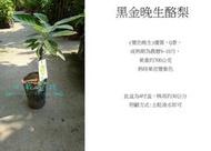 心栽花坊-黑金晚生酪梨/4吋/嫁接苗/水果苗/酪梨品種/售價600特價480