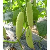 【媽咪蔬果園】、日本 白玉奶油水果小黃瓜 可生食   種子