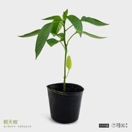 [種苗] 朝天椒 辣椒 苗